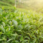 Aceite esencial de árbol del té.