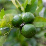 Aceite esencial de bergamota, sus beneficios y propiedades.